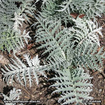 Artischocke (Cynara cardunculus), junge Blätter
