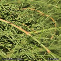 Mongolisches Meerträubel (Ephedra equisetina), Zweige
