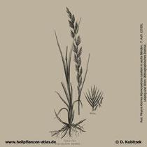 Gemeine Quecke; Agropyron repens; Historisches Bild