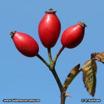 Hundsrose (Rosa canina), Früchte (Hagebutten)