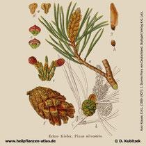 Gewöhnliche Kiefer; Pinus sylvestris; Historisches Bild
