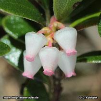 Blüten der Echten Bärentraube (Arctostaphylos uva-ursi),