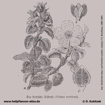 Kretische Zistrose (Cistus creticus), historische Grafik