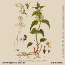 Weiße Taubnessel, Lamium album, Historisches Bild