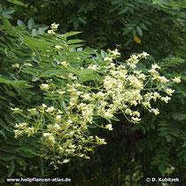 Die lockeren, üppigen Blütenstände des Japanischen Pagodenbaums stehen auffällig am Ende der Triebe.