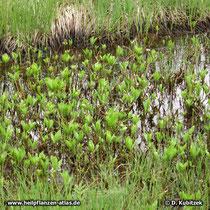 Fieberklee (Menyanthes trifoliata), im flachen Wasser eines Niedermoores (Oberbayern)