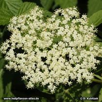Holunder (Sambucus nigra) Blütenstand von oben