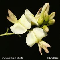 Die Blüten des Japanischen Pagodenbaums (Japanischer Schnurbaum, Styphnolobium japonicum, Sophora japonica) haben die familientypische Schmetterlingsform.