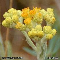 Sand-Strohblume (Helichrysum arenarium), Blütenstände (Blütenkörbe)