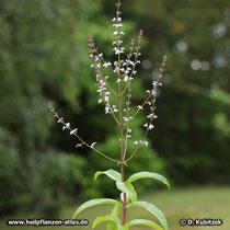 Zitronenverbene (Aloysia citriodora), Blütenstand