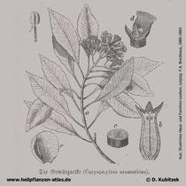 Gewürznelkenbaum; Syzygium aromaticum; Historische Grafik