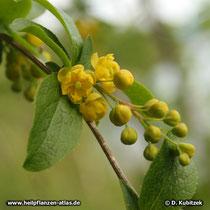 Gewöhnliche Berberitze (Berberis vulgaris) Blütenstand