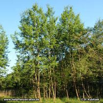 Zitter-Pappel (Populus Tremula), Standort und Wuchsform