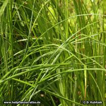 Anemarrhena asphodeloides, Blätter