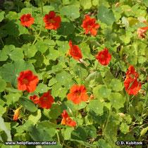 Blühende Große Kapuzinerkresse (Tropaeolum majus)