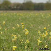 Wiesen-Schlüsselblume (Primula veris), Standort Wiese
