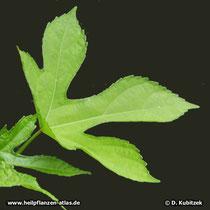 Maniok-Bisameibisch (Abelmoschus manihot), Blatt