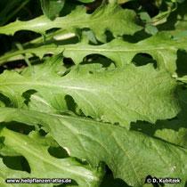 Gewöhnliches Hirtentäschel (Capsella bursa-pastoris), Blätter