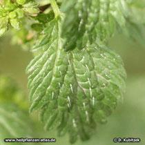 Kleine Brennnessel (Urtica urens), Blatt mit Haaren