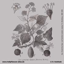 Gewöhnlicher Efeu, Hedera helix, Historisches Bild