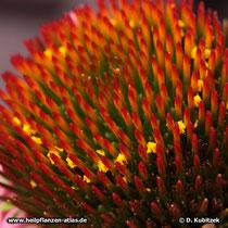 DerPurpurfarbene Sonnenhut hat gelbe Pollen.