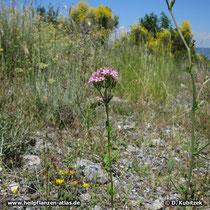 Echtes Tausendgüldenkraut (Centaurium erythraea), Standort in den Bergen von Kalabrien (Italien)