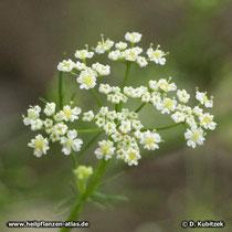 Kümmel (Carum carvi), Blüten