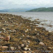 Sägetang Standort, hier an der Westküste von Schottland