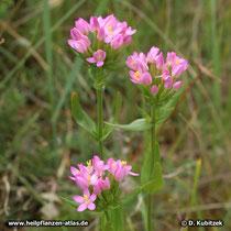 Echtes Tausendgüldenkraut (Centaurium erythraea), Blütenstände