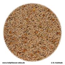 Indische Flohsamen (Plantaginis ovatae semen)