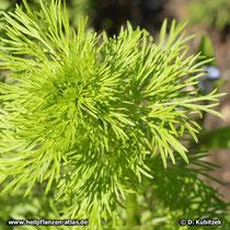 Echter Schwarzkümmel (Nigella sativa) Jungpflanze