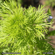 Echter Schwarzkümmel (Nigella sativa), Jungpflanze