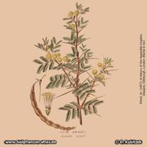 Seyal-Gummi-Akazie (Acacia seyal), Arabisches Gummi, Historisches Bild