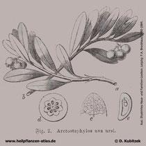 Bärentraube (Arctostaphylos uva-ursi), historische Grafik