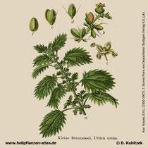 Kleine Brennnessel, Urtica urens, Historische Grafik