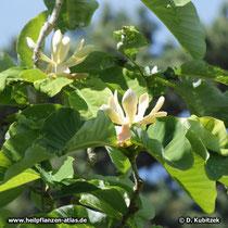 Magnolia officinalis, blühend
