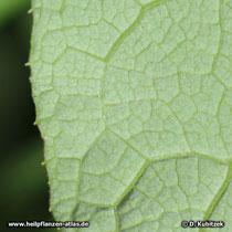 Filz-Klette, Arctium tomentosum: Die Unterseite des Blattes ist dicht behaart.