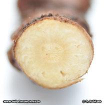 Liebstöckel (Levisticum officinale), Querschnitt durch das Liebstöckel-Rhizom