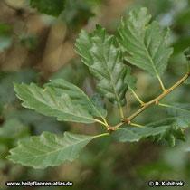 Trauben-Eiche (Quercus petraea), Zweig mit Blättern