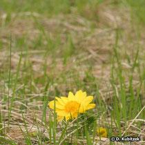 Frühlings-Adonisröschen (Adonis vernalis), Standort: Heide, hier in Oberbayern