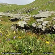 Rosenwurz (Rhodiola rosea), Standort auf rund 2.000 m Höhe.