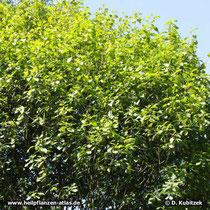 Amerikanischer Faulbaum (Rhamnus purshiana), Wuchsform