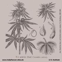 Hanf (Cannabis sativa), historische Grafik