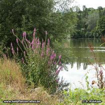 Gewöhnlicher Blutweiderich (Lythrum salicaria), am Flussufer, hier am Main in Mittelfranken (Bayern)