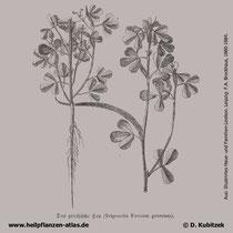 Bockshornklee (Trigonella foenum-graecum), historische Grafik