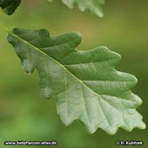 Trauben-Eiche (Quercus petraea), der Blattgrund kann auch gestutzt sein.