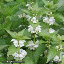 Taubnessel (Lamium album): Blütenstände