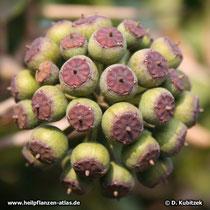 Gewöhnlicher Efeu (Hedera helix) Fruchtstand mit unreifen Früchten