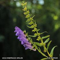 Baikal-Helmkraut (Scutellaria baicalensis), Blütenstand und Fruchtstand