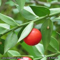 Maeusedorn (Ruscus aculeatus) Frucht